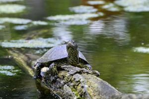 Sumpfschildkröte auf einem Ast
