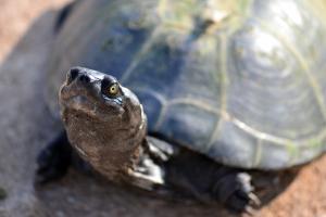 Nahaufnahme einer Europäischen Sumpfschildkröte