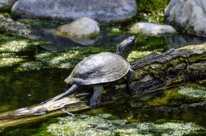 Schildkröte am Wasser