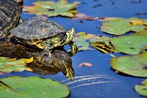 Wasserschildkröte im Teich
