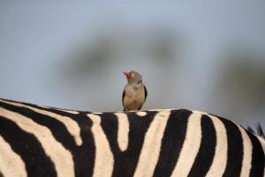 Bild Zebra in Safaripark