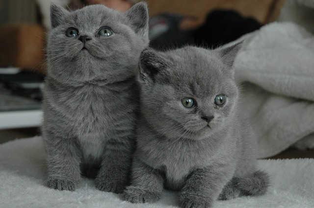 Zwei graue Katzenwelpen