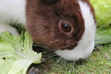 Fressendes Kaninchen