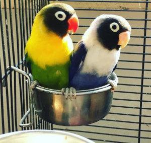 Schwarköpfchen Agaporniden Paar