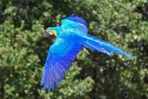 Fliegender blauer Ara Papagei