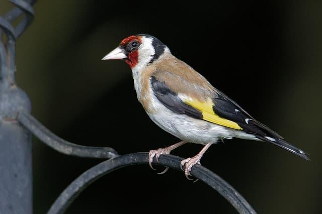 Aussehen des Distelfinks