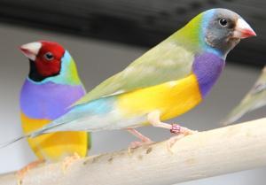 Gouldamadine Vogelpaar