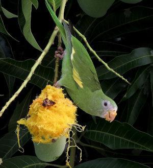Kanarienflügelsittich frisst Mango vom Baum