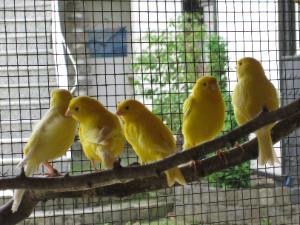 vögel, kanarienvögel