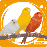Grafik Kanarienvogel