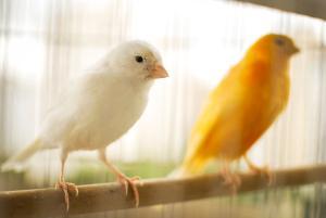 Kanarienvögel in Weiß und Gelb