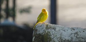 Bild Kanarienvogel Gesundheitscheck