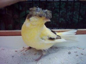 Gloster Kanarienvogel mit Haube