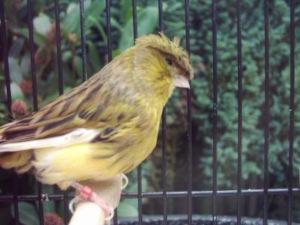 Kanarienvogel gestrichelt mit Haube