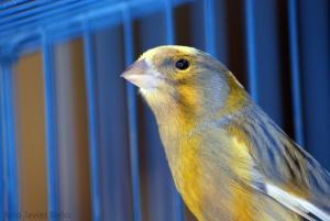 Kanarienvogel mit gestricheltem Gefieder im Käfig