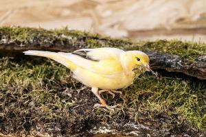 Bild Kanarienvogel auf Moos