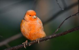 Kanarienvögel in Orange