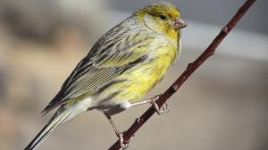 Kanarienvögel mit gestricheltem Gefieder