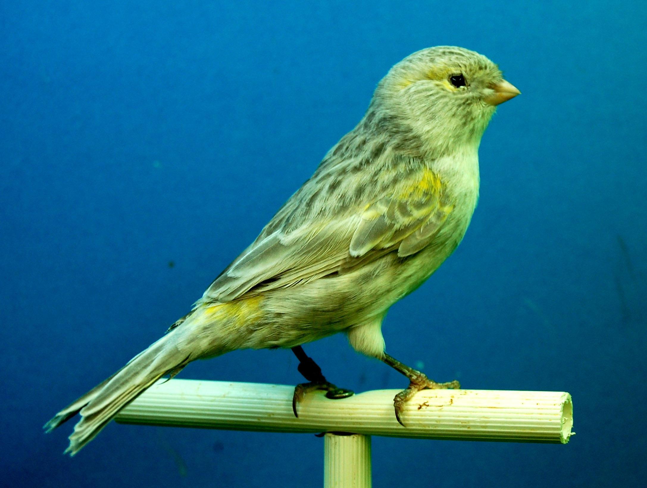 Kanarienvogel auf Stange