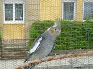 vögel, nymphensittich