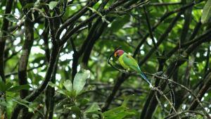 Männlicher Pflaumenkopfsittich in Baum