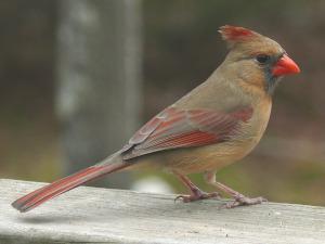 Rotkardinal Weibchen