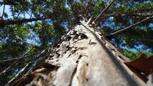 Bild Eukalyptusbaum