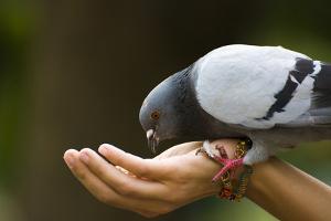 Bild Taube wird gefüttert