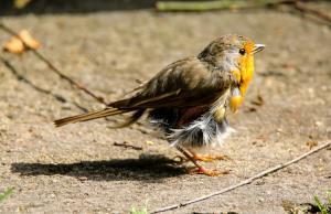 Vogel mit abstehenden Federn