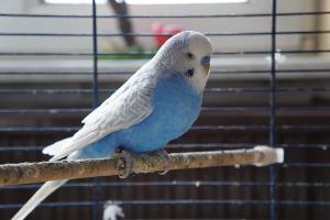 Blauer Wellensittich im Käfig