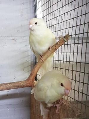 Ziegensittich Hennen cremefalbe